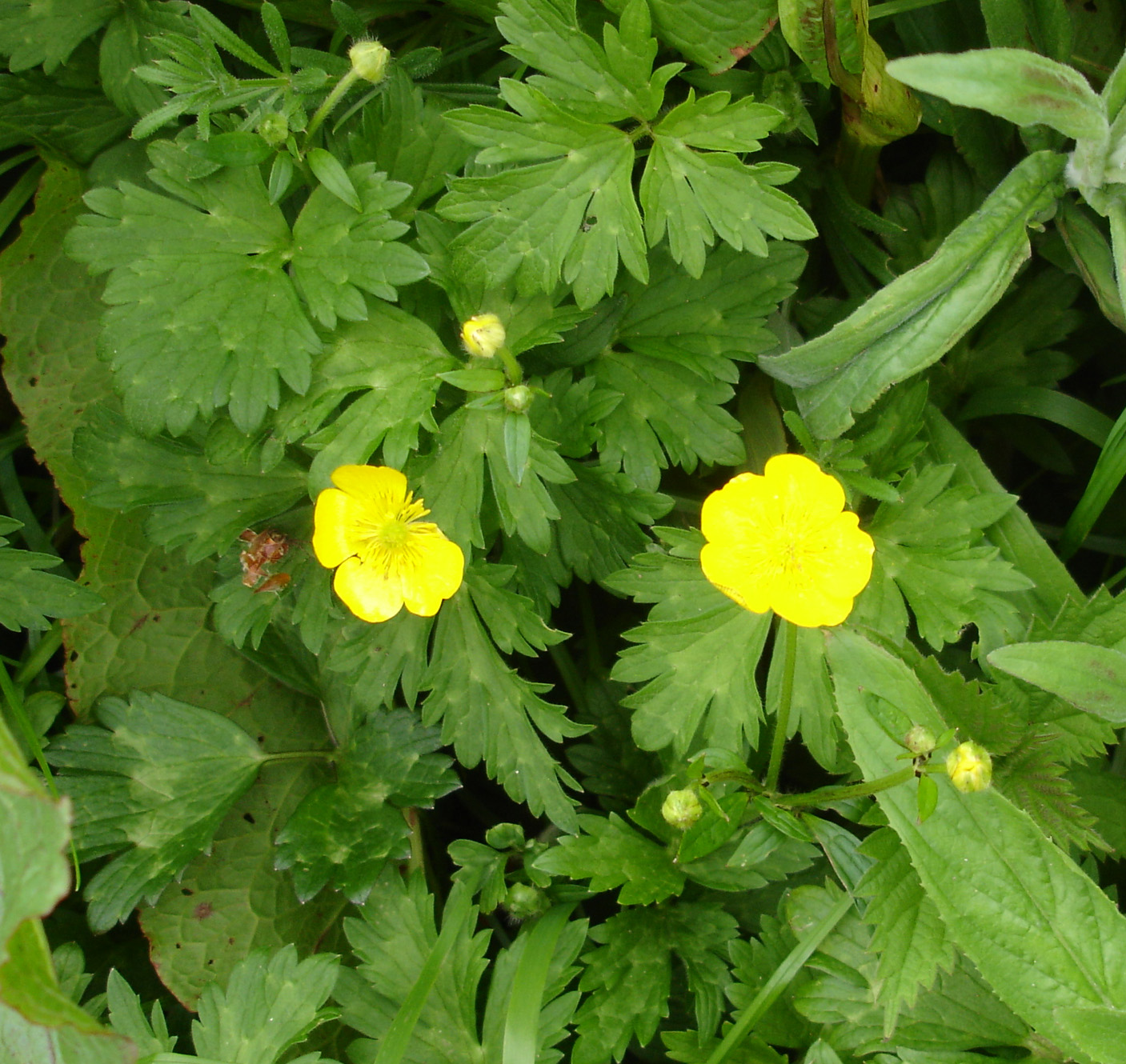 http://www.castlewardenflora.com/wp-content/uploads/2012/03/Ranunculus-repens-4.jpg